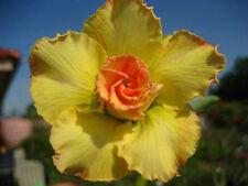 Adenium Obesum / Desert Rose - CX Loungnumchok - Perennial Bonsai Seeds (5)
