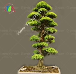 28pcs Bag Rare Tree Seeds For Home Bonsai Japanese Cedar Semillas Bonsai Seeds 52741893373 Ebay
