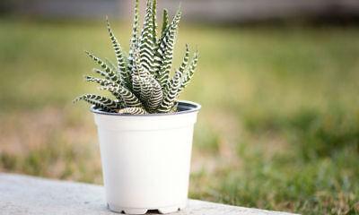 "Easy to grow//Hard to kill 2.5/"" Pot Haworthia fasciata sp Super Zebra Plant"