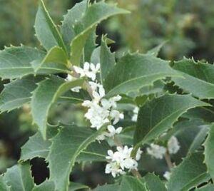 Fortunes Fragrant Tea Olive Osmanthus Live Plant