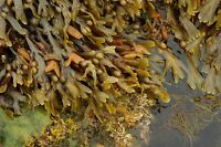Free Gift Bladderwrack Atlantic Seaweed Powder Non-gmo-1,2,3,4,5 Lbs-canada