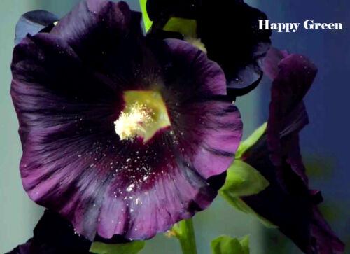 100 Semi-Fiore Malvone Nero-Althea rosea nigra
