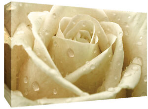 Image Is Loading Cream Rose With Raindrops Canvas Wall Art Print