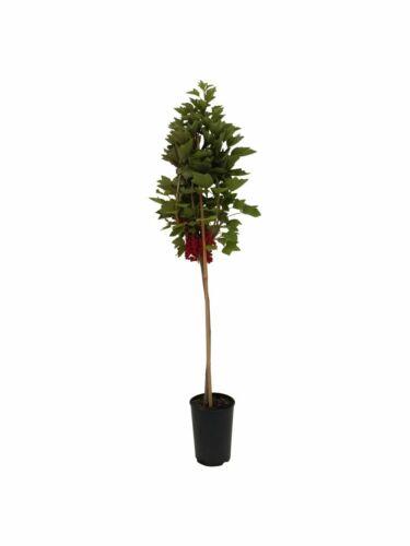 Rolan rote Johannisbeere Fußstamm große Beeren 50 cm Stamm 80-120 cm 5 L Topf