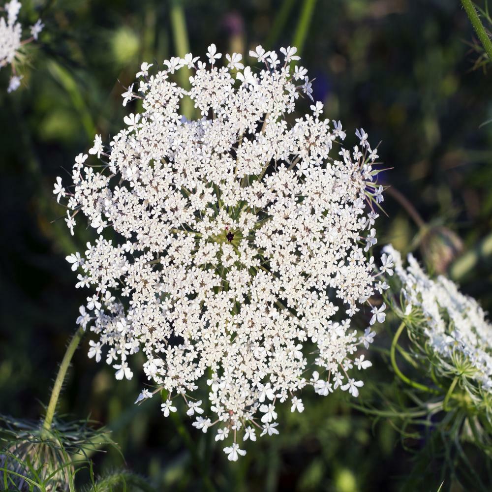 Ammi Majus appx 7,800 seeds / 6 grams Bishops Flower