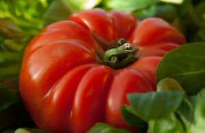 10-Samen-Tomate-Ochsenherz-Fleischtomate-Tomaten-Tomatensamen-Coeur-de-Boeuf