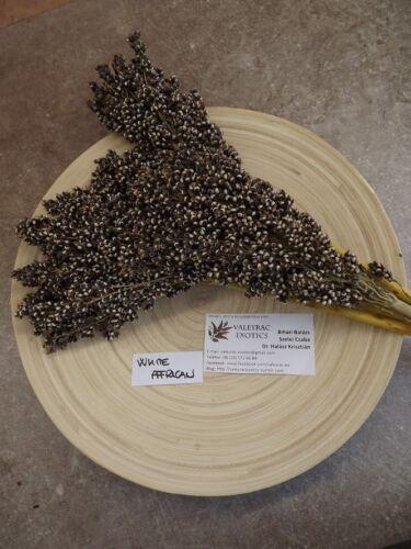 Zuckerhirse BESONDERE RARITäT! White African Sorghum 50 Samen