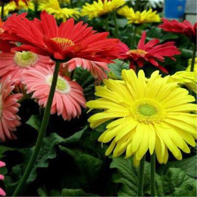 100 Pcs Seeds Gerbera Bonsai Indoor Flowers Flores Perennial Daisy Flower Plants