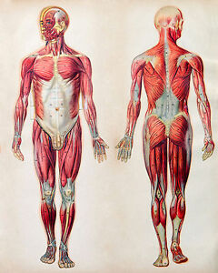 Opinion vintage anatomy chart