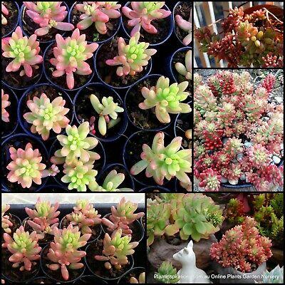 6 Pink Jelly Beans Plants Sedum rubrotinctum aurora Succulents Groundcover  Bean   eBay