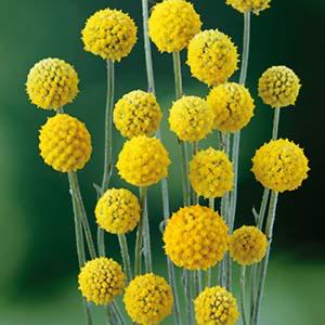 Billy-Buttons-Seed-Perennial-Golden-Globe-Flower-Drought-Frost-Seaside-Tolerant