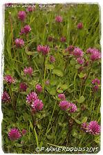 Trifolium pratense 'Wild Red Clover' [Ex. Yorkshire] 1000+ SEEDS