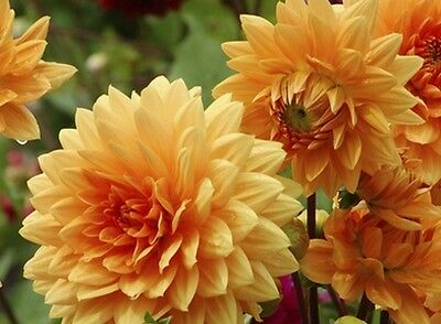 F0483 Dahlia Delight Orange Shades x25 seeds