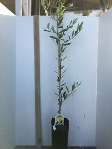 Fruiting-Olive-Trees-Live-Tree
