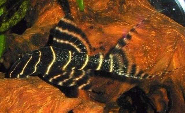 Panaqolus albivermis L204 (Pleco, L-Number, Catfish)