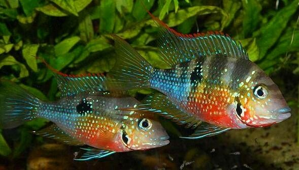 10 (ten) x Thorichthys maculipinnis (ellioti) (Cichlid)
