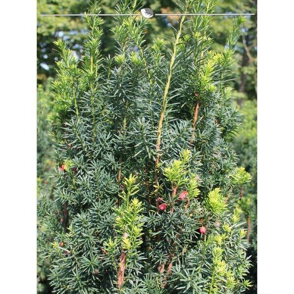 Fruchtende Bechereibe Taxus media Hicksii 80-100cm, 10x Eibe. Grüne Taxus Hecke