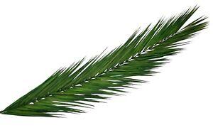 Palmwedel-Palmenwedel-Palmblatt-Palmenblaetter-Palmzweige-konserviert-Natur
