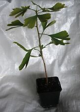 Maidenhair Tree, Ginkgo Biloba Tree Plants 25- 35 cm inc. Pot.