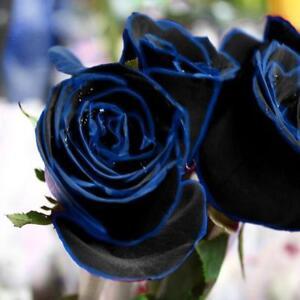 10-Samen-Beutel-Midnight-Blue-Rose-Blumensamen-Seltene-Gartenpflanze