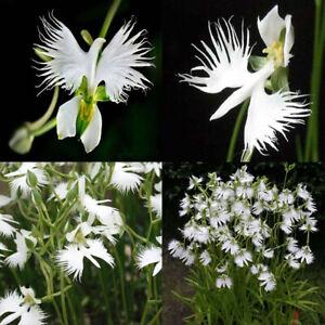 100-x-Japonais-Radiata-Blanc-Colombe-Aigrette-Orchidee-Forme-Graines-Fleurs