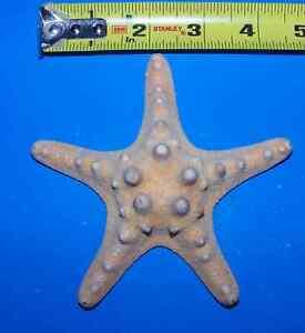 """100 - 4-5""""+ NATURAL KNOBBY STAR FISH STARFISH SEA SHELL ITEM # NK4 - 100"""