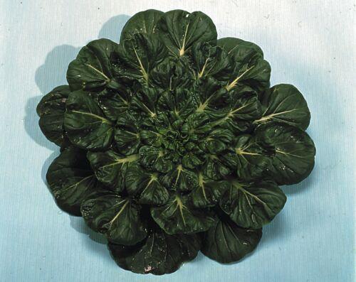 Tatsoi Large Pack Tah Tsai Vegetable 1500 Seeds