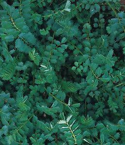 Fines herbes-Suffolk Herbes-Salade Burnet-Sanguisorba minor-paquet illustré  </span>