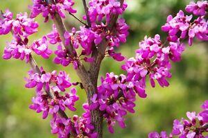 Garten-Pflanzen-Samen-winterharte-Zierpflanze-Saatgut-Baum-Strauch-LIEBESBAUM