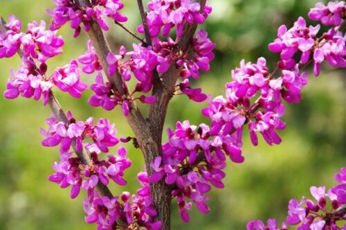 ein seltener Anblick ** Liebesbaum die Blüten entstehen direkt an den Zweigen