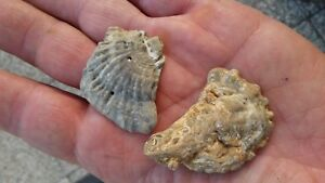 2-Ostrea-Digitalina-Fossil-Miocene-Burdigalian