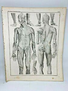 Antique-large-print-HC-1843-Oken-039-s-Naturgeschichte-Plate-3-Anatomy-Muscles-Body