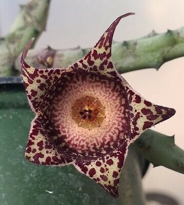 SUCCULENT **** #34 HUERNIA //STAPELIA SCITULA MED-RED *** EASY GROWER !