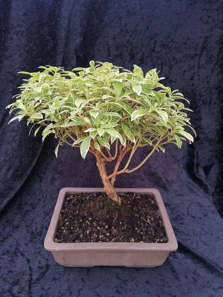Bonsai træ, Pieris Japonica