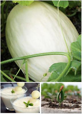Melon Seeds White Big Sweet Spanish Melon Blanco Dulce
