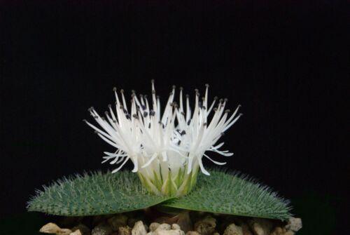 Massonia pygmaea 1 bulbo 1 bulb size of flowering