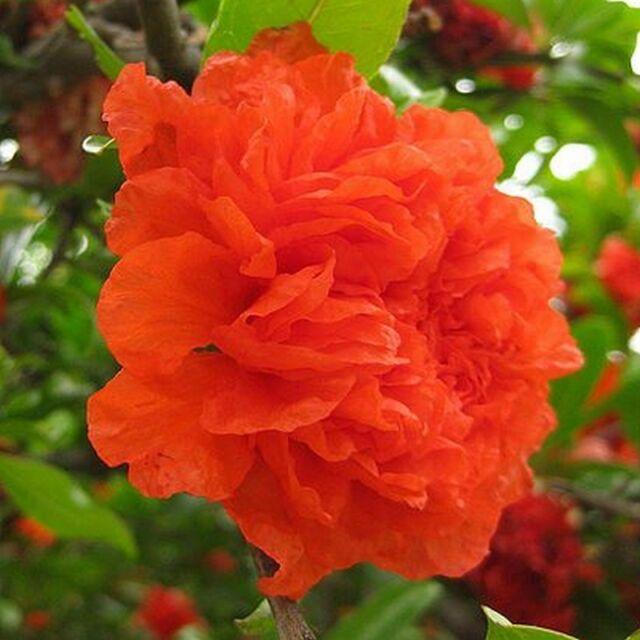 Punica granatum 'Pleniflora' - Grenadier à fleurs orange