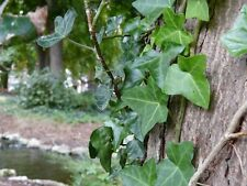 ENGLISH IVY plant 25 Live rooted cuttings evergreen ground cover Hardy Vines