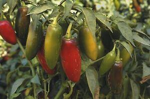 Starterset Mittelscharfe Paprika Chili Peperoni Samen 10Sorten Schärfegrad 2-5
