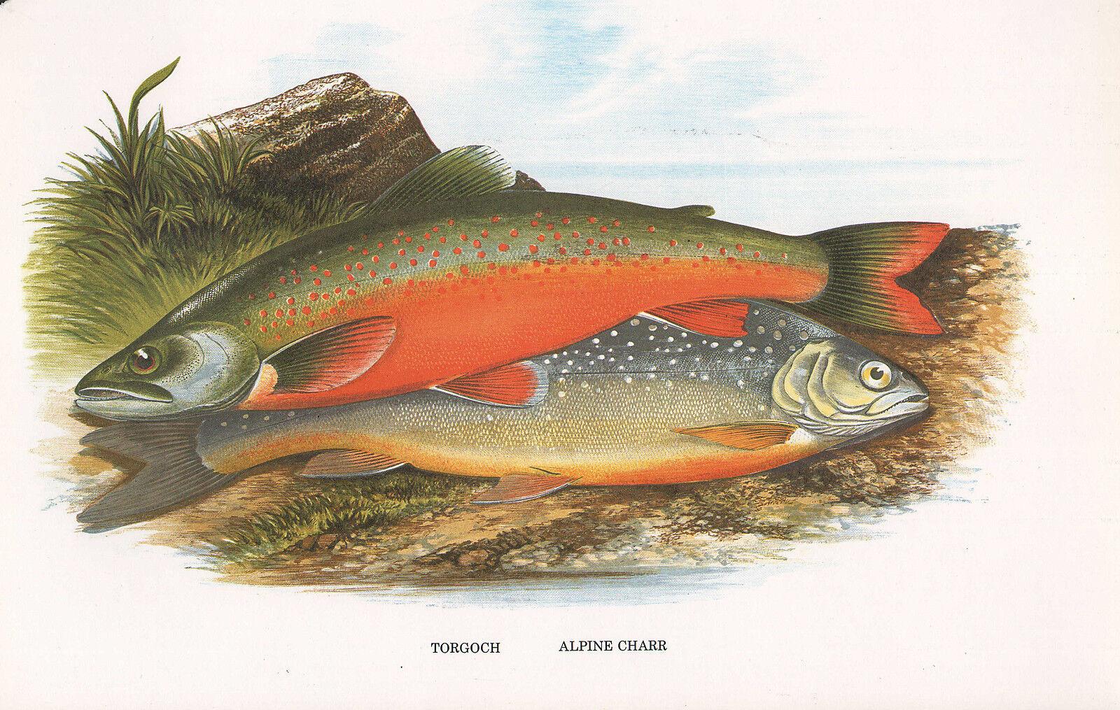 Vintage Facsimile Poisson Imprimé  Torgoch Alpine Charr  A. F. Lydon