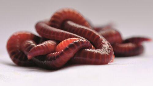 1000 Kompostwürmer Gartenwürmer Regenwürmer Eisenia Fetida
