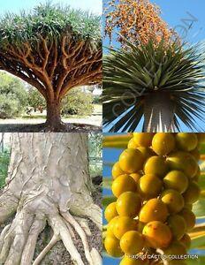 Image Is Loading Dracaena Draco Rare Dragon 039 S Blood Tree