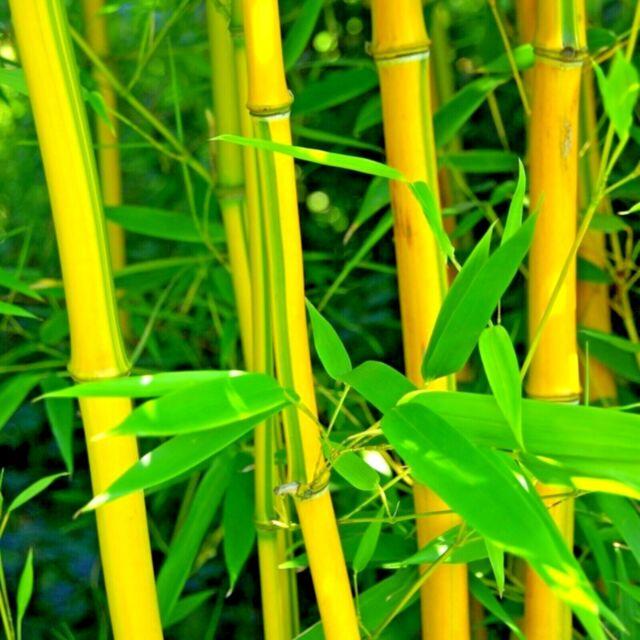 50+ Bamboo Seeds Bambusoideae Poaceae Rare Garden Plant bamboo rare yellow plant