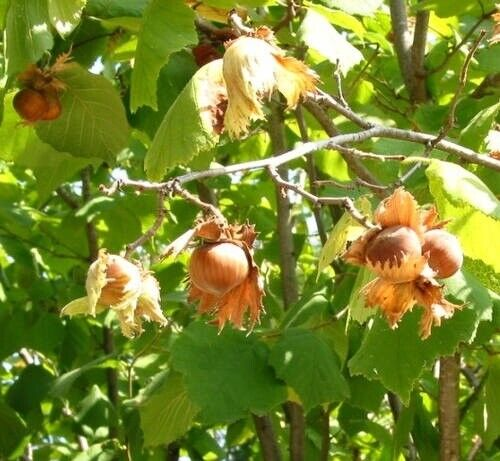"""In dormancy Flavorful Filbert Nut TREE 6-10/"""" Tall Potted Starter Plant"""