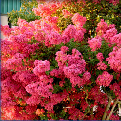 6 Crape Myrtle Tontos These are small starter plants.