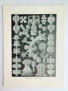 1899-Ernst-Haeckel-Kunstformen-1st-ed-Original-Antique-Plate-39-Gorgonia