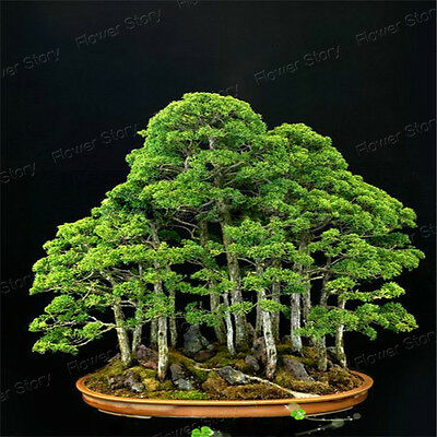 20 Juniper Bonsai Tree Seeds DIY Home Office Bonsai Suitable for Many Places