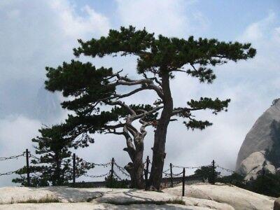 Hardwerkend Pinus Tabuliformis - Chinese Red Pine - Fresh Seeds