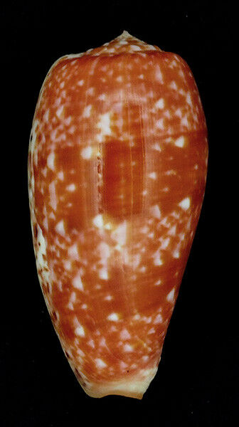 Coquillage de collection : Conus bullatus (62 mm)