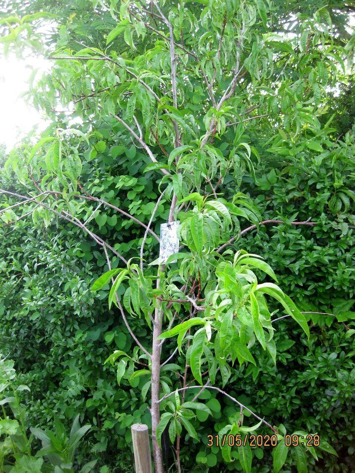 Frugttræ, UFO-Fersken